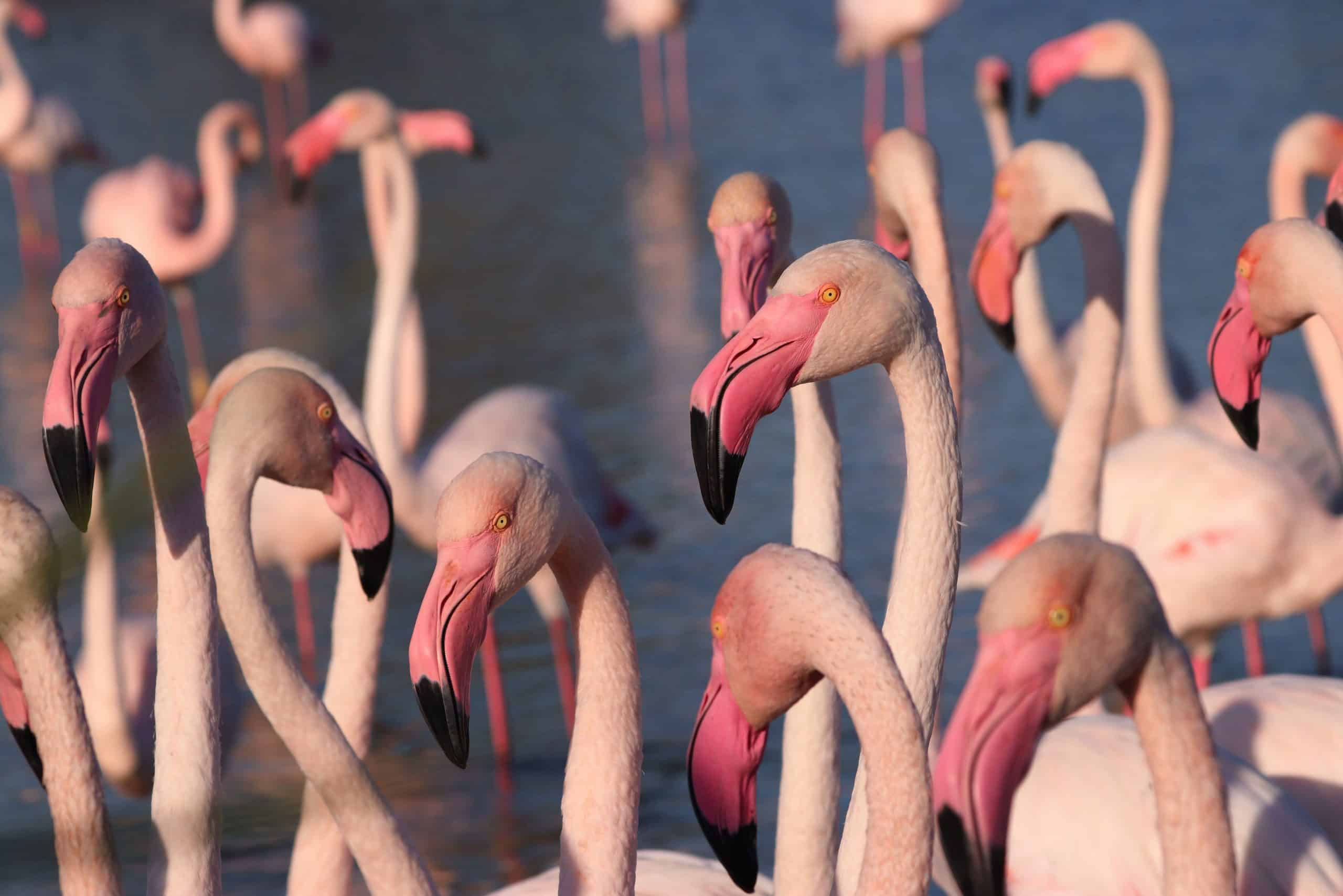 Group,Of,Flamingos,Is,Standing.,Photo,From,Wild,Nature.